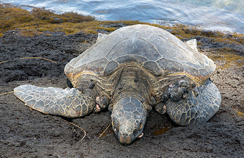 An old turtle sunning on a rock on the Big Island of Hawaii